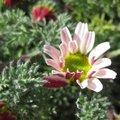 Camomille marocaine - Anacyclus pyrethrum depressus