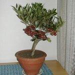 Olivier bonsaï - Olea europaea