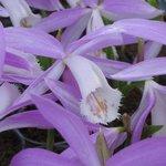 Pléione formosana - Orchidée