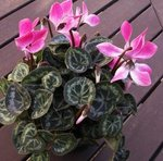 Cyclamen persicum - Cyclamen de Perse - Cyclamen des fleuristes