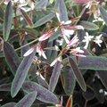 Euphorbe hypericifolia 'Breathless Blush'- Euphorbia