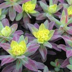Euphorbia polychroma 'Bonfire' - Euphorbe