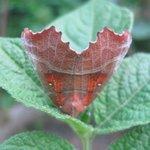 Découpure - Papillon