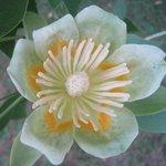 Tulipier de Virginie - Liriodendron tulipifera