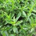 Sarriette vivace - Satureja montana