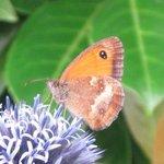Amaryllis - Papillon