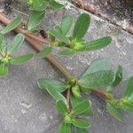 Pourpier sauvage - Portulaca oleracea
