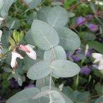 Eucalyptus gunnii - Gommier