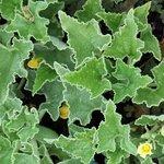 Concombre du diable - Ecballium elaterium