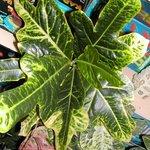 Croton - Codiaeum
