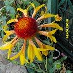 Gaillarde 'Ambers Weels' - Gaillardia