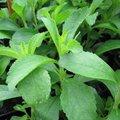 Herbe à sucre - Stevia rebaudiana