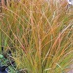 Carex testacea  - Laîche