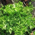 Chicorée frisée - Salade