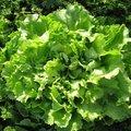 Chicorée scarole - Salade