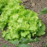 Laitue batavia - Salade