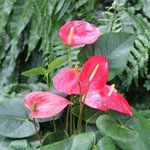 Anthurium - Langue de feu