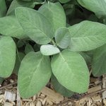 Sauge officinale - Salvia officinalis