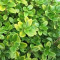 Thym citron panaché - Thymus citriodorus