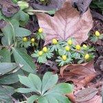 Eranthis hyemalis - Hellébore d'hiver - Helléborine