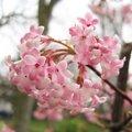 Viburnum x bodnantense - Viorne de Bodnant