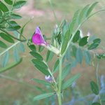 Vesce commune - Vicia sativa