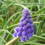 Muscari armeniacum - Jacinthe à grappes
