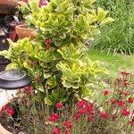 Euonymus japonicus Aureomarginatus - Fusain du Japon