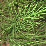 Prêle des champs - Equisetum arvense