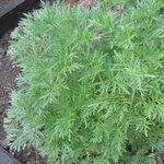 Absinthe - Artemisia absinthium