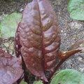 Oseille pourpre - Rumex x Purpurea