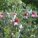 Acca ou Feijoa sellowiana - Goyavier