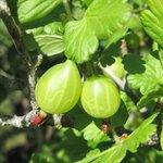 Groseillier à maquereau - Ribes uva-crispa