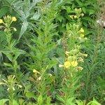 Onagre bisannuelle - Oenothera biennis