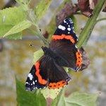 Vulcain - Papillon