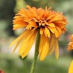 Echinacée 'Marmelade' - Echinacea