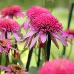 Echinacée 'Pink Double Delight' - Echinacea