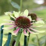 Echinacée 'Green Envy' - Echinacea