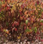 Cornouiller - Cornus alba sibirica