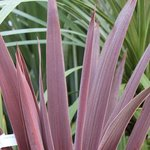 Cordyline australis 'Red Star'