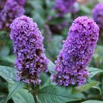 Buddleia davidii 'Blue Chip'
