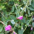Lespedeza bicolor 'Yakushima'