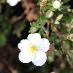 Potentille fruticosa 'Abbotswood' - Potentilla