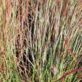 Andropogon scoparius - Schizachyrium scoparius