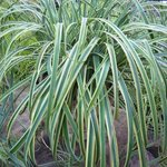 Carex 'Rehuko Sunrise' - Laîche