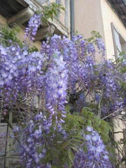 Une plante grimpante qui fleurit le plus longtemps possible ?