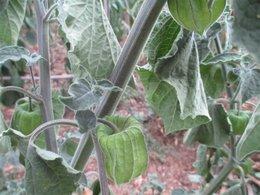 Avez-vous des coquerets du Pérou dans votre jardin ?