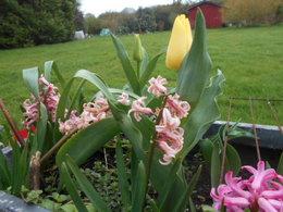 Avez-vous des tulipes dans votre jardin ?
