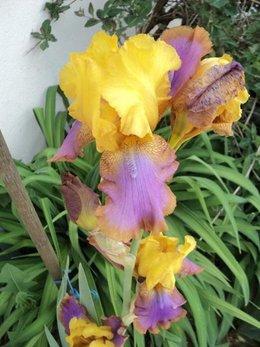 Avez-vous des iris dans votre jardin ?