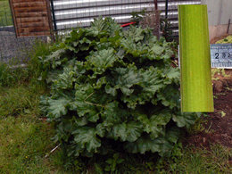 Récolter la rhubarbe